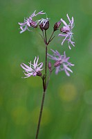 meadow campion, ragged-robin (Lychnis flos-cuculi, Silene flos-cuculi), blooming, Germany