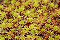 Twisted Moss (Tortula ruraliformis), Germany