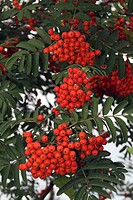 European mountain-ash, rowan tree (Sorbus aucuparia), fruiting branch