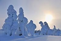 snow covered spruces, Finland, Pohjois Pohjan, Nordoesterbotten, Kuusamo