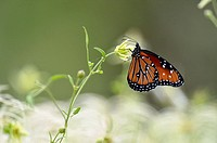 Queen butterfly (Danaus gilippus), Rio Grande City, Texas, USA.