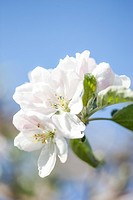 Close-up of apple blossom