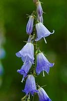 Ladybells (Adenophora liliifolia), flowers