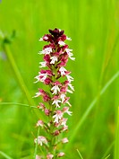 burnt orchid (Orchis ustulata), inflorescence