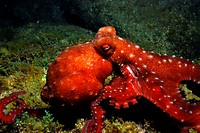 Injured long-armed octopus, observed at night in Corsica´s water. Callistoctopus macropus.