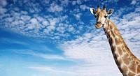 Giraffe's neck against blue sky background