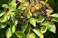 Common Dogwood (Cornus sanguinea), leaves and fruits, Thuringia, Germany