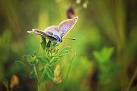 Common blue butterflie, Polyommatus icarus, sitting on a plant