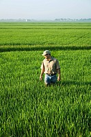 Agriculture - A crop consultant walks through a field inspecting a mid growth rice crop at the early head formation stage / Arkansas, USA.
