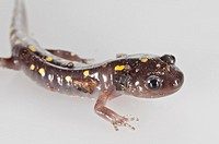Spotted salamander, Ambystoma maculatum, native to eastern USA and Canada; cutout on white background.