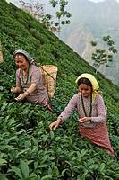 Female labor workers harvesting tea leaves in the tea plantation of the Glenburn Tea Estates in Darjeeling, first established in 1859.