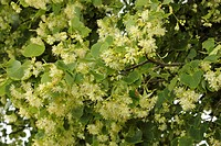 small-leaved lime, littleleaf linden, little-leaf linden (Tilia cordata), flowers, Germany, Bavaria