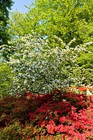 garden in spring with flowering cherry an Rhododendron, Netherlands, Northern Netherlands