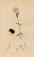 Hylesinus scaber, Hylesinus oleiperda, Rough Hylesinus beetle, and mountain pink, Dianthus caesius. Handcoloured copperplate drawn and engraved by Joh...