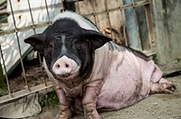 Pig, Animal,Animal,Lying On Front