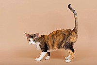 Devon Rex cat, tricolor