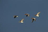 Wigeon Anas penelope Flock Cley Norfolk