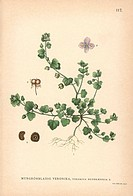 Ivy-leaved speedwell, Veronica hederifolia. Chromolithograph from Carl Lindman's Bilder ur Nordens Flora (Pictures of Northern Flora), Stockholm, Wahl...
