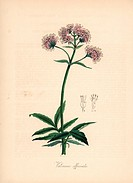 Valerian, Valeriana officinalis. Handcoloured zincograph by C. Chabot drawn by Miss M. A. Burnett from her Plantae Utiliores: or Illustrations of Usef...