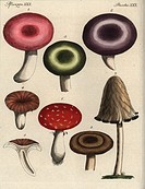 Mushrooms: Russula integra 1,2,3, Lactarius torminosus 4,5, Amanita muscaria 6, Coprinopsis radiata 7, and Lactarius piperatus 8. Handcoloured copperp...