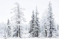 reifbedeckte Baeume, Stubba Naturreservat, Welterbe Laponia, Norrbotten, Lappland, Schweden, November 2013