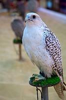 Falcon, Falcon Souq, Waqif Souq, Doha, Qatar, Middle East