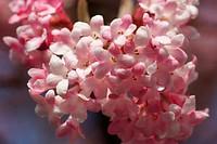 Viburnum farreri, Syn. fragrans, Duftschneeball, Fragrant viburnum