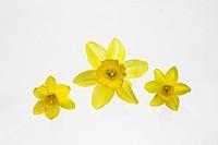 Gelbe Narzisse auch Osterglocke genannt auf weißem Hintergrund