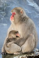 Japanese macaque (Macaca fuscata) mother holding her baby sitting beside a Hotspring.
