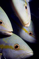 Closeup of Yellowtail Snappers