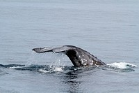 A gray whale flukes off Anacapa Island in Southern California, USA