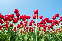 Low angle view of red tulip blossoms against blue sky, Ursem, North Holland, Netherlands.