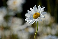 Ox-eye Daisy (Leucanthemum vulgare), flower, Germany