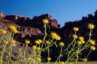 Canyonlands National Park, Utah - Yellow Beeplant (Cleome Lutea) growing at Spanish Bottom on the Colordo River.