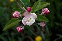 Apple tree flower (Malus domestica), Rosaceae.