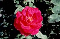 Rose (Rosa Victor Hugo), Rosaceae.