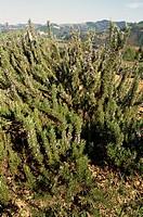 Rosemary (Rosmarinus officinalis), Lamiaceae.