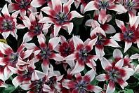 Tulip (Tulipa Akita), Liliaceae.