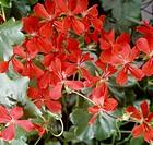Ivy-leaf geranium, cascading geranium (Pelargonium edera or pelargonium peltatum), Geraniaceae.