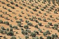 Olive groves near Jaon, province Jaon, Andalucia, Spain