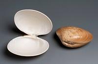 Brown Venus shells (Callista chione), Veneroida.  Private Collection