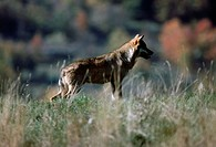 Italian Wolf or Apennine wolf (Canis lupus italicus), Canidae, National Park of Abruzzo, Lazio and Molise, Italy.