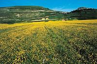 Lentils crops at Castelluccio, Umbria, Italy.