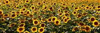 Field of sunflowers, Canada