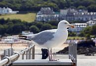 The European herring gull (Larus argentatsu) in the resort port of St Ives.