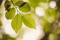Hojas en el árbol en primavera. Contraluz. Color.
