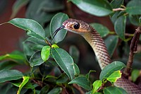 Indo-Chinese rat snake / Chinese ratsnake (Ptyas korros), colubrid snake native to Southeast Asia, flicking tongue