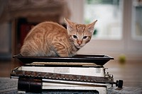 little European Shorthair Cat on Kitchen Scale