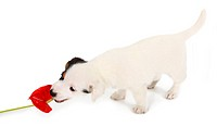 Jack Russell puppy play with red Anthurium on white background