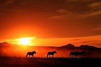 Sunset and horses, Mongolian steppe.